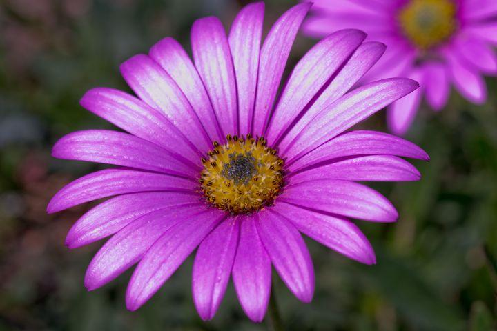 Asteraceae - Russell Field