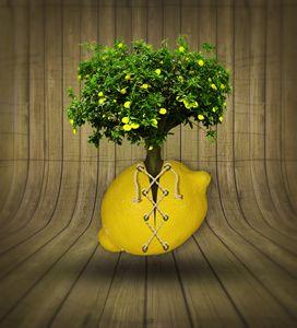 le citron lacet 2
