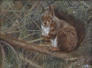 European red squirrel in Scots pine.