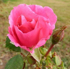 Last Rose - Deb Johnston