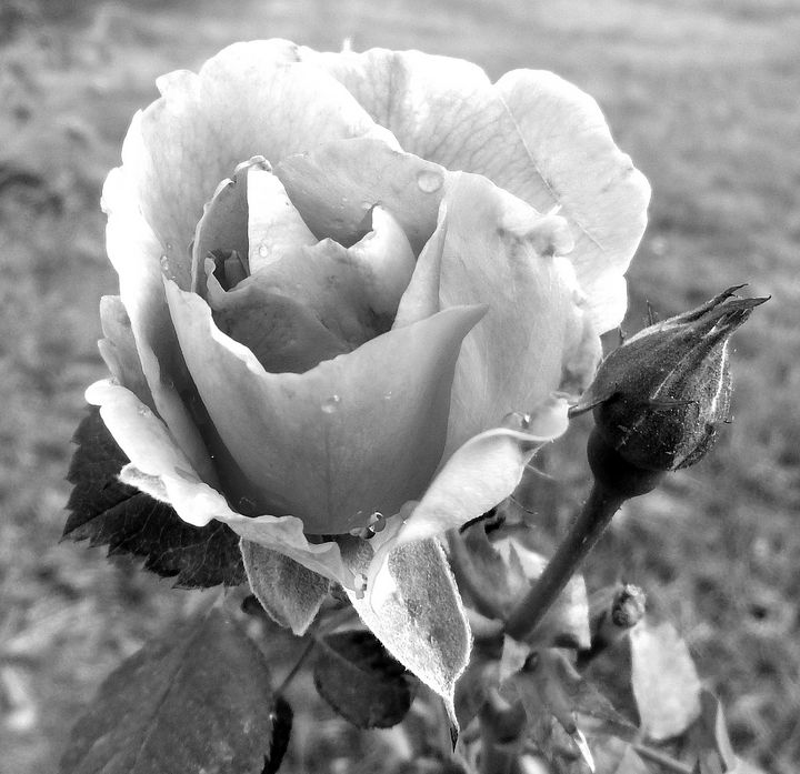 Last Rose Black and White - Deb Johnston