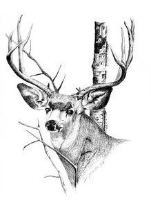Mule Deer - Deb Johnston