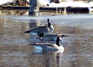 Returning geese