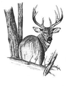 Whitetail Deer - Deb Johnston
