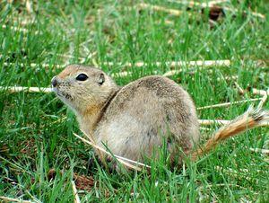 Richardson Ground Squirrel - Deb Johnston