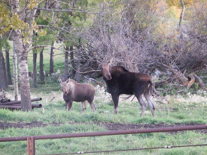 Moose Cow and Calf - Deb Johnston