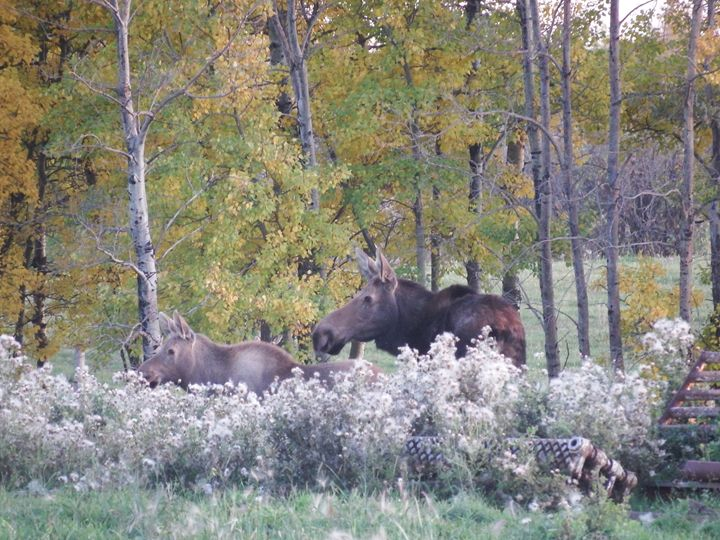 Moose Cow and Calf Watching - Deb Johnston
