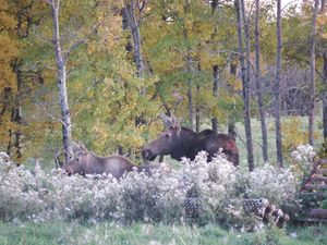 Moose Cow and Calf Watching