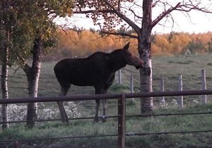 Cow Moose Standing Still - Deb Johnston