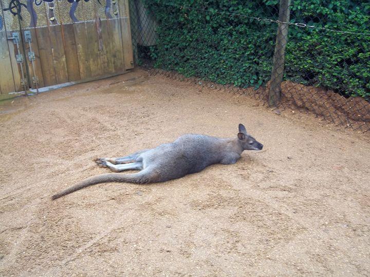 The Planking Wallaby - Nioami.