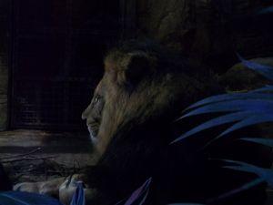 Lions Asleep