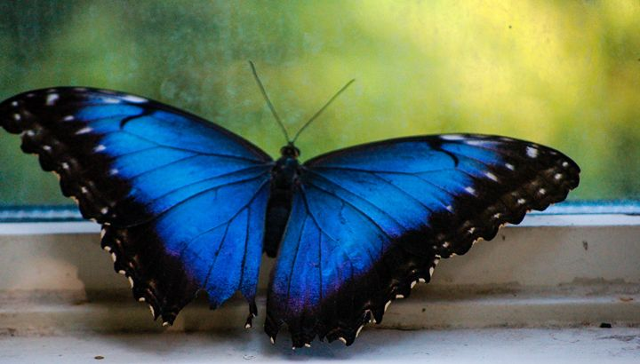 Blue Morpho and Window - Lynn Murphy