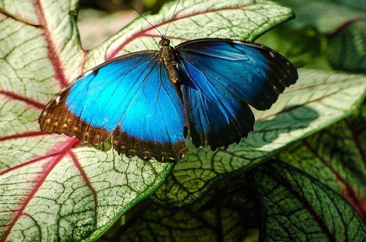 Blue Morpho And Caladiums - Lynn Murphy