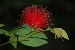 Red Momosa - Lynn Murphy