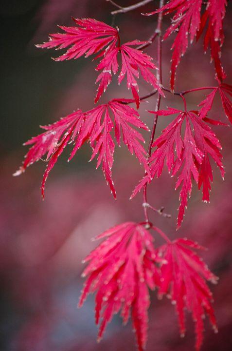 Maple Leaves - Lynn Murphy