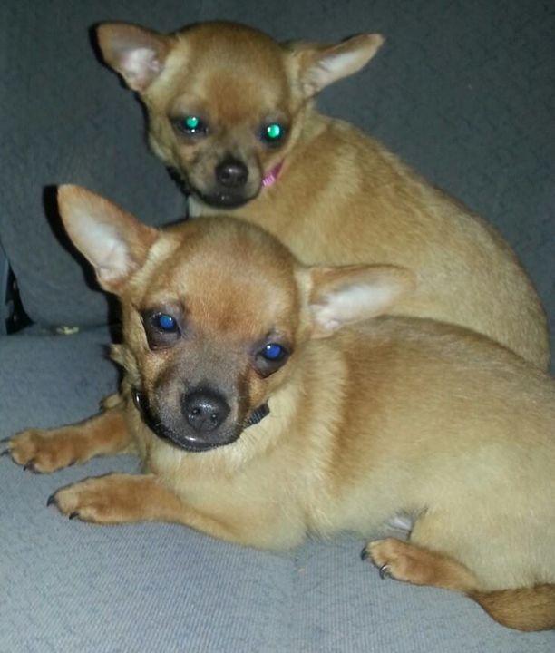 Chihuahuas - Aylisya