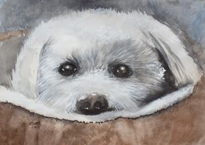 Bichon Frise, Original  Watercolor - David K. Myers Watercolor/ Photo Gallery