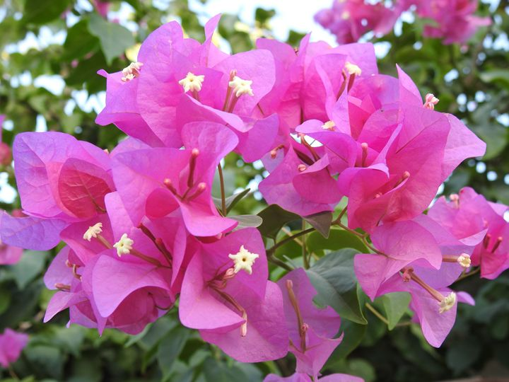 Bougainvillea Photograph - David K. Myers Watercolor/ Photo Gallery