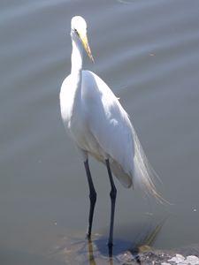 Egret, Florida, USA - David K. Myers Watercolor/ Photo Gallery