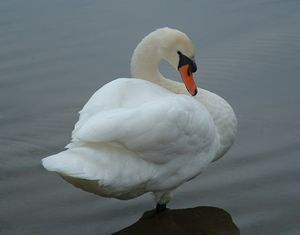 Mute Swan, Michigan, USA - David K. Myers Watercolor/ Photo Gallery