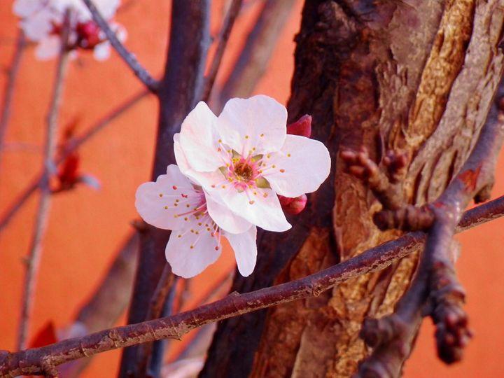 Cherry Blossom Dance - Bernadette Doyle Art