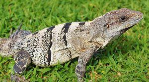 Tulum lizard
