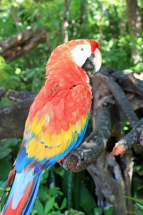 Tulum Parrot - Jessica Roberto