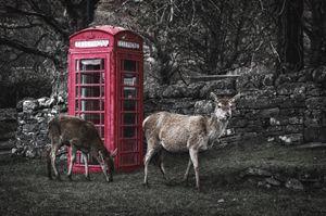 Deers Calling
