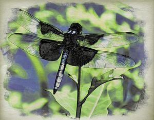 Widow Skimmer at Rocky Hill - Richmanphotoart.com