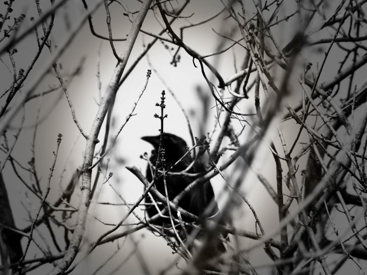 Winter Raven - Shayne's Photography