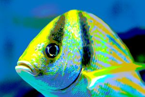 Atlantic Porkfish Up Close - Welborne Fine Art