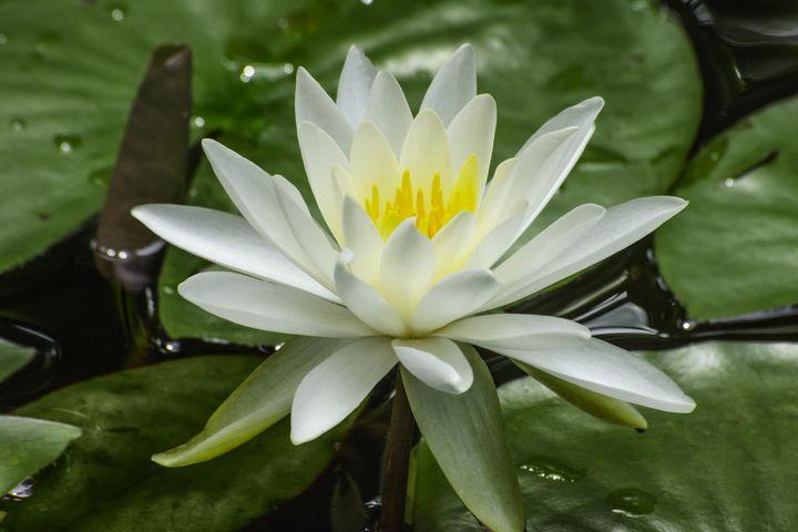 White Lotus - Welborne Fine Art