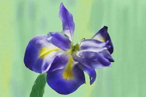 Wild Iris Digital Painting