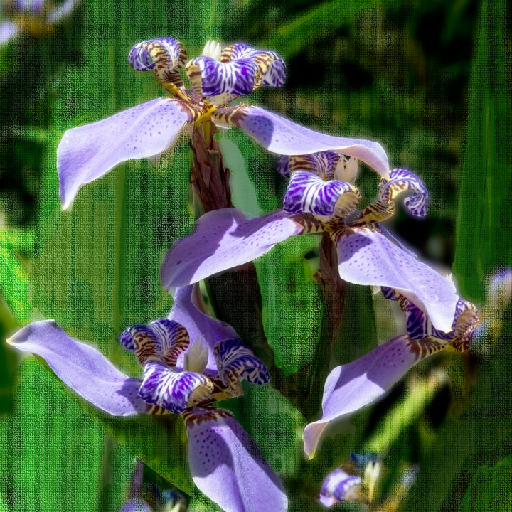 Walking Iris - Welborne Fine Art