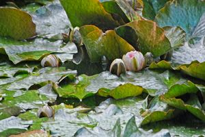 Early Giverny Lilies - Welborne Fine Art