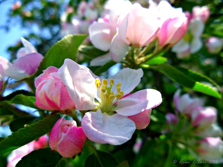 Apple Blossoms - Renee Kilburn