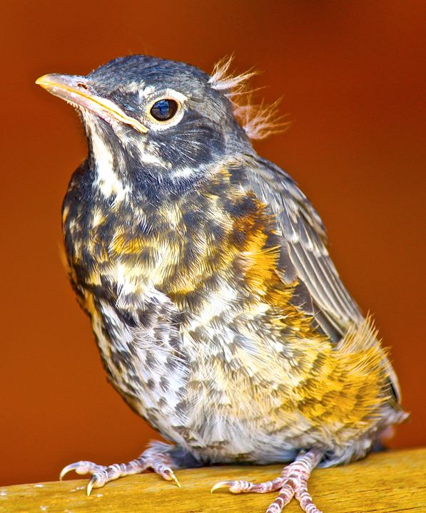 Fearless Baby Robin - Aspen Willow Fine Art Photography Gallery
