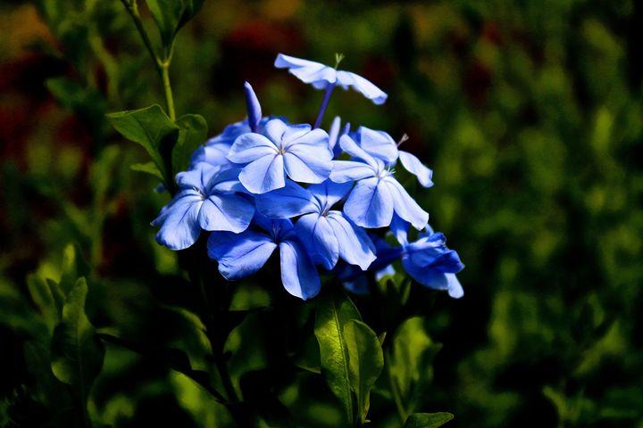 Spring Flowers - Beauty in Blue - Aspen Willow Fine Art Photography Gallery
