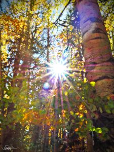 Sunlight Through the Aspens