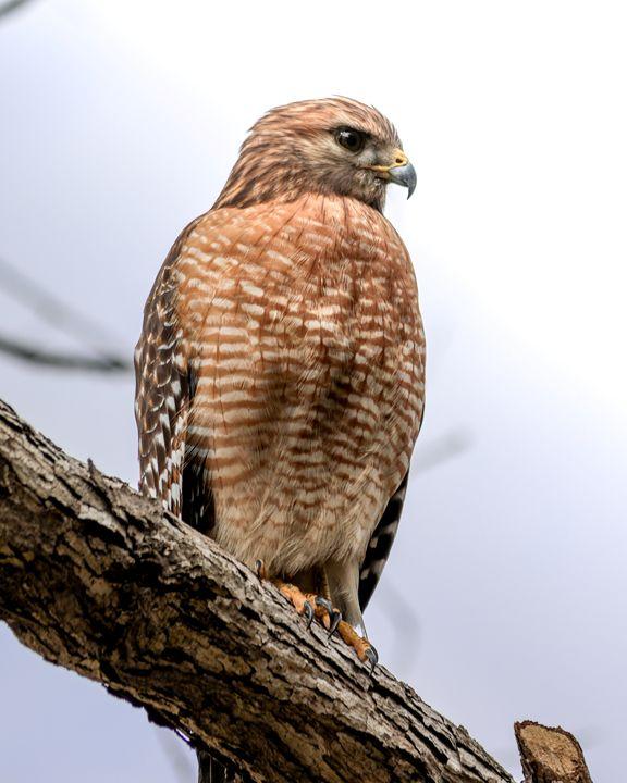 Hawk - Bird of Prey - Aspen Willow Fine Art Photography Gallery