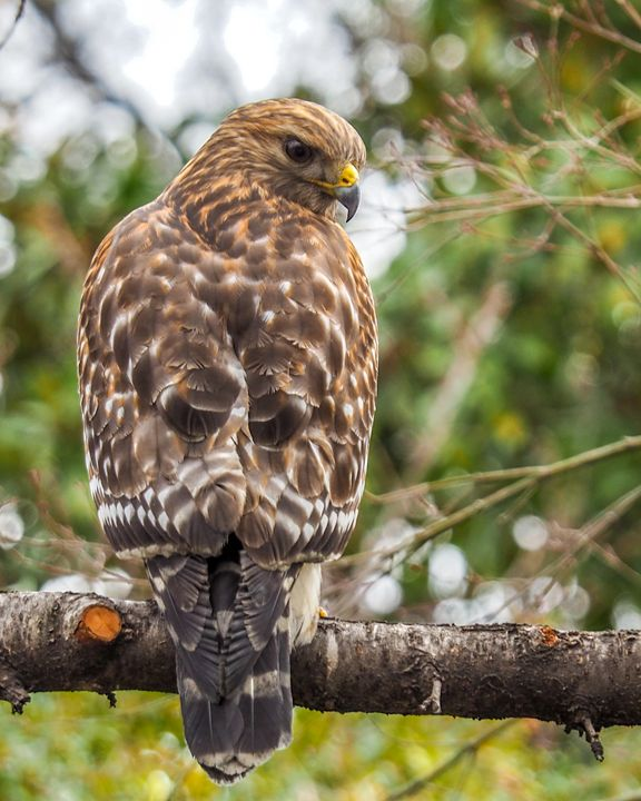 Hawk / Falcon - Aspen Willow Fine Art Photography Gallery