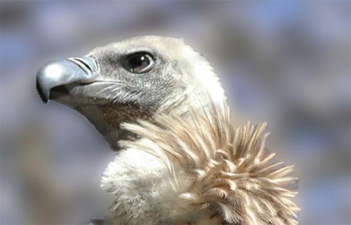 Andean Condor - Aspen Willow Fine Art Photography Gallery