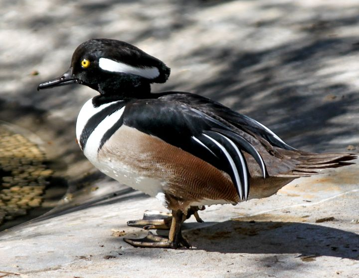Hooded Merganser Duck - Aspen Willow Fine Art Photography Gallery