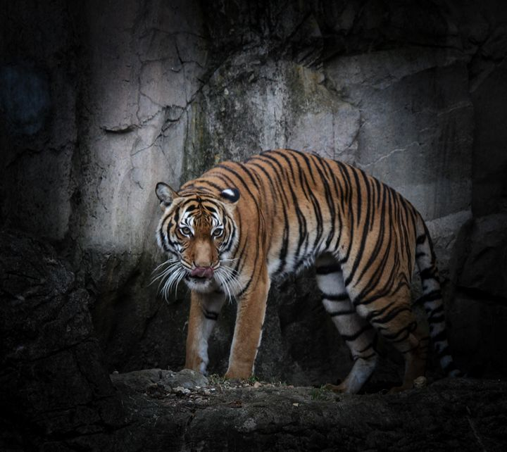 Tiger - Aspen Willow Fine Art Photography Gallery
