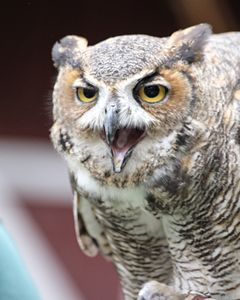 Great Horned Owl Screeching - Aspen Willow Fine Art Photography Gallery