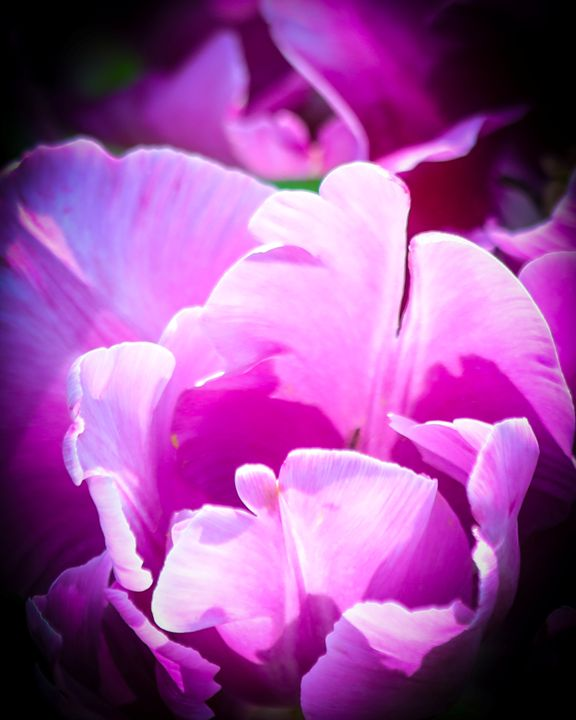 Tulip - Aspen Willow Fine Art Photography Gallery