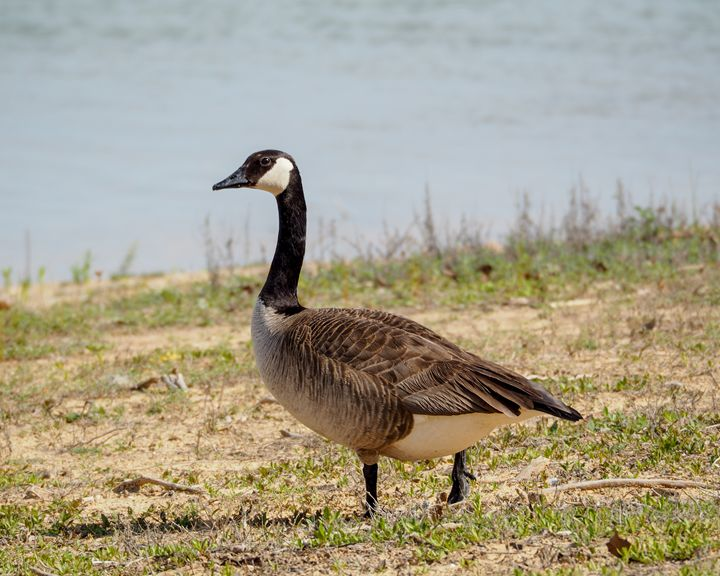 Canada Goose - Aspen Willow Fine Art Photography Gallery