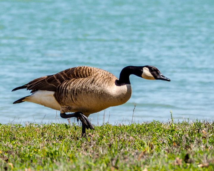 Waterfowl - Canada Goose - Aspen Willow Fine Art Photography Gallery