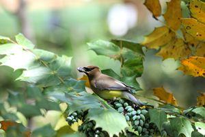 Waxwing Feast - Aspen Willow Fine Art Photography Gallery