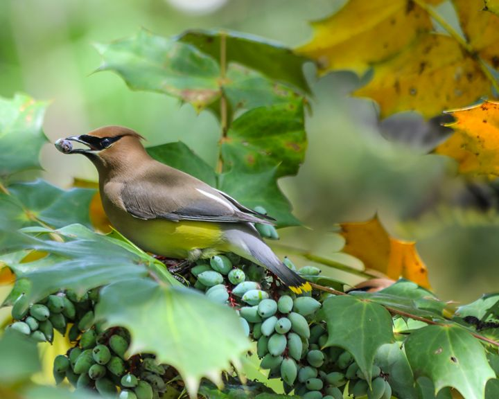 Cedar Waxwing - Aspen Willow Fine Art Photography Gallery